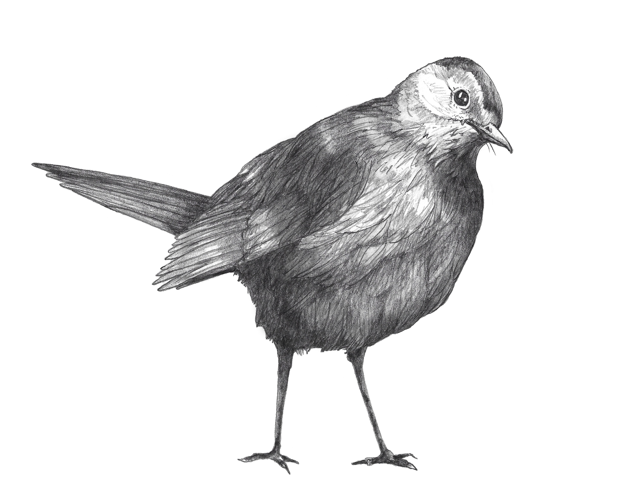 Gray Catbird_Pencil