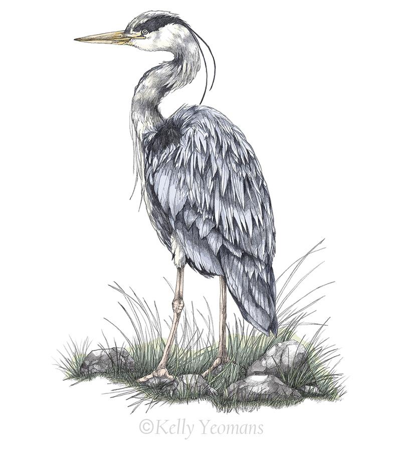 Nature Bird Art Illustration Drawing
